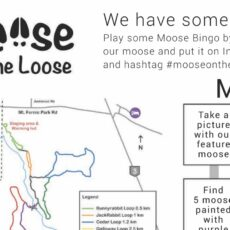 moose on the loose Fernie